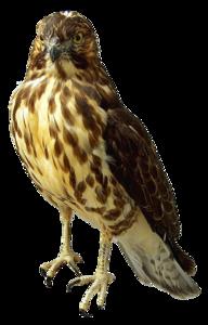 Peregrine Falcon Transparent Background PNG Clip art