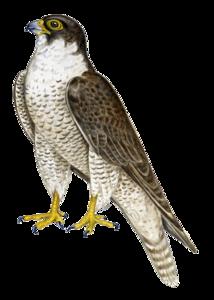 Peregrine Falcon Transparent PNG PNG Clip art