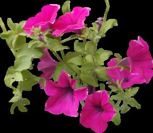 Petunia PNG Clipart PNG Clip art