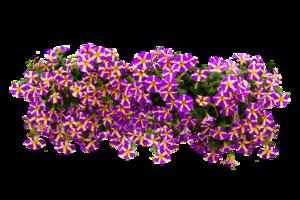 Petunia PNG File PNG Clip art