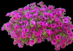 Petunia PNG Free Download PNG Clip art