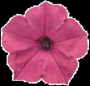 Petunia PNG HD PNG Clip art