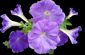 Petunia PNG Image PNG Clip art