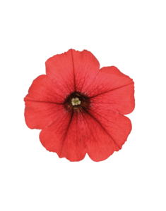 Petunia PNG Photo PNG Clip art