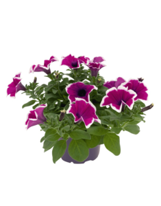 Petunia PNG Picture PNG Clip art