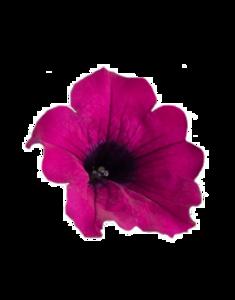 Petunia PNG Transparent PNG Clip art