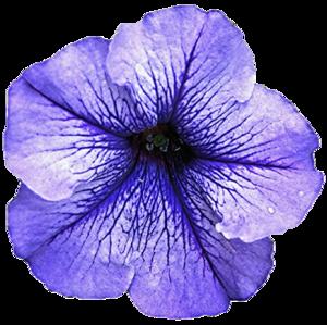 Petunia Transparent Background PNG Clip art