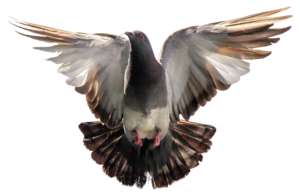 Pigeon Download PNG Image PNG Clip art
