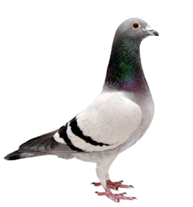 Pigeon PNG Background Image PNG Clip art