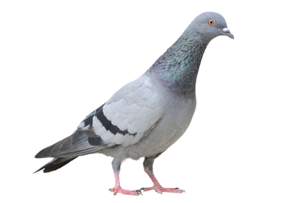 Pigeon PNG Free Download PNG Clip art