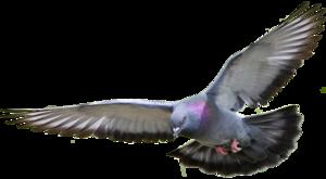 Pigeon PNG HD PNG Clip art