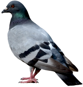 Pigeon PNG Image PNG Clip art