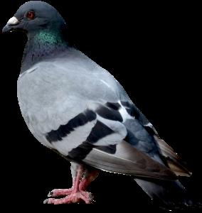 Pigeon PNG Image PNG Clip art