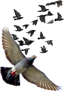 Pigeon PNG Photos PNG Clip art