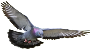 Pigeon PNG Pic PNG Clip art