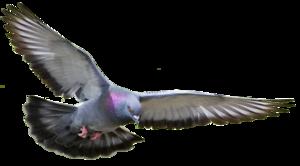 Pigeon PNG Pic PNG Clip art