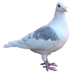 Pigeon PNG Transparent HD Photo PNG Clip art