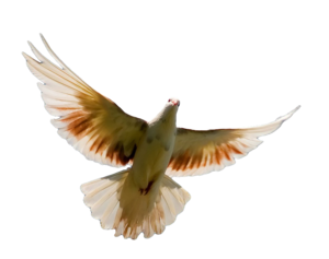 Pigeon PNG Transparent Image PNG Clip art