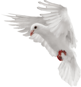 Pigeon PNG Transparent Picture PNG clipart