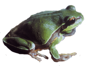 Pine Barrens Tree Frog PNG PNG Clip art