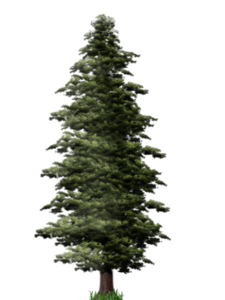 Pine Tree PNG File PNG icon