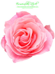 Pink Rose PNG Free Download PNG clipart