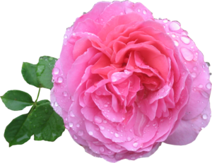 Pink Rose PNG HD PNG Clip art