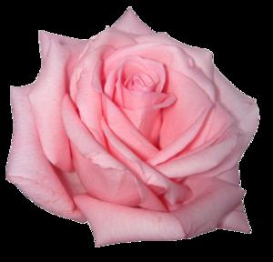 Pink Rose PNG Image PNG Clip art