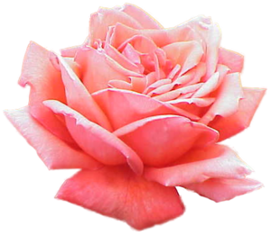 Pink Rose PNG Picture PNG Clip art