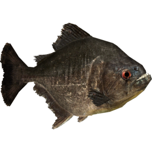 Piranha PNG Picture PNG Clip art