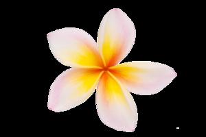 Plumeria PNG Clipart PNG Clip art