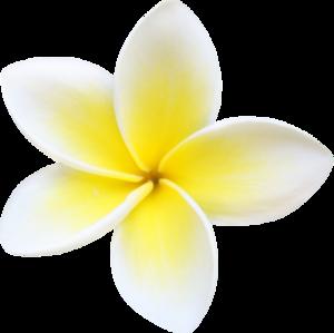 Plumeria PNG File PNG Clip art