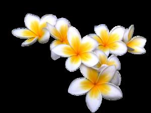 Plumeria PNG Photos PNG Clip art