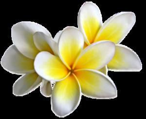 Plumeria PNG Transparent Image PNG Clip art