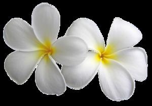 Plumeria Transparent PNG PNG Clip art