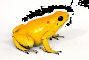 Poison Dart Frog Download PNG Image PNG Clip art