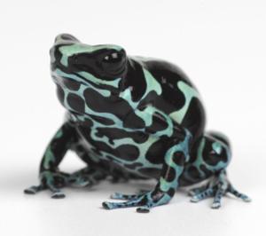 Poison Dart Frog PNG Background Image PNG Clip art
