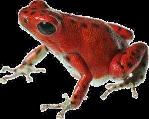 Poison Dart Frog PNG File PNG Clip art