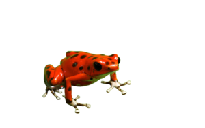 Poison Dart Frog PNG Free Download PNG Clip art
