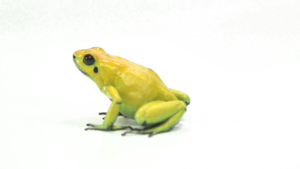 Poison Dart Frog PNG HD PNG clipart