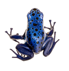 Poison Dart Frog PNG Photo PNG Clip art