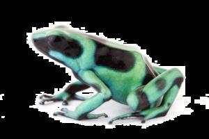 Poison Dart Frog Transparent Background PNG Clip art