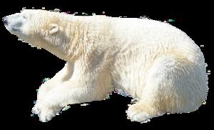 Polar Bear PNG Image PNG Clip art
