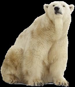 Polar Bear PNG Pic PNG Clip art
