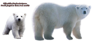 Polar Bear Transparent Background PNG Clip art