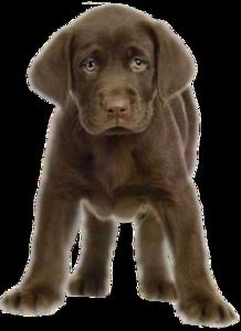 Puppy Transparent PNG PNG Clip art