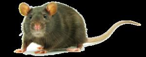 Rat PNG Clipart PNG Clip art