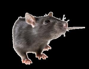 Rat PNG Pic PNG Clip art