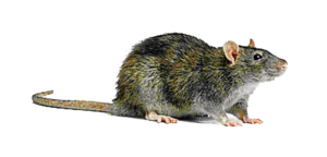 Rat Transparent Background PNG Clip art