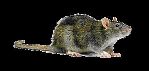 Rat Transparent Background PNG icons